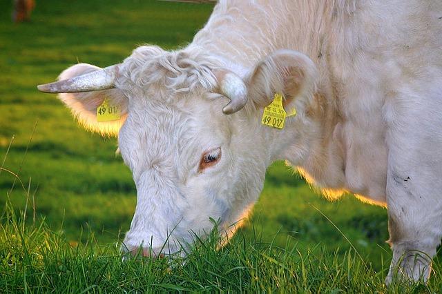 bílá kráva