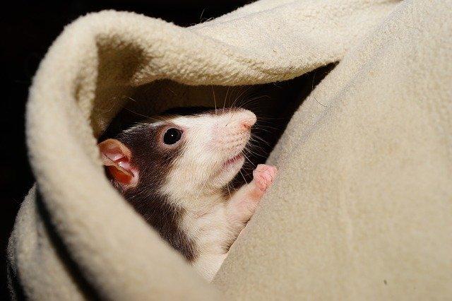 Potkan – nenáročný a učenlivý mazlíček